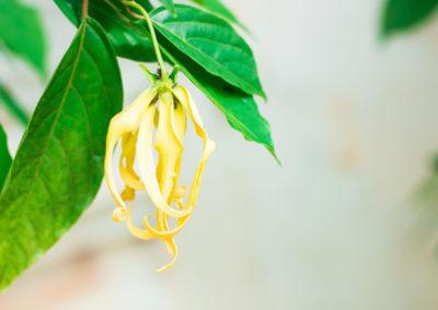 NEZ MADA_Fleur-ylang_parfumeurs sans frontieres