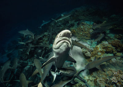 700 REQUINS DANS LA NUIT_13062016-_DSC6019 ∏Laurent Ballesta